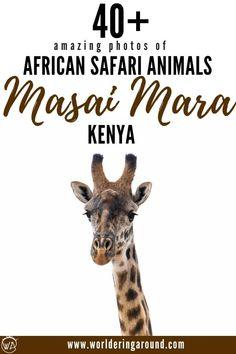Photos of Masai Mara safari animals to inspire you to travel to Kenya. Have a look what African safari animals you can see in Masai Mara, Kenya. The best safari experience in Kenya Kenya Travel, Africa Travel, Diani Beach, Africa Destinations, Travel Destinations, Safari Animals, Wild Animals, Baby Animals, African Safari