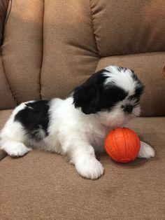 Chien Shih Tzu, Perro Shih Tzu, Shih Tzu Puppy, Shitzu Puppies, Cute Cats And Dogs, Cute Dogs And Puppies, Shih Tzus, Cute Funny Dogs, Cute Funny Animals