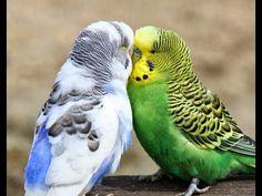 Suara Burung PARKIT Terlatih
