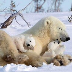 Polar Baby Animals That Can Warm Your Heart Even in Extreme Cold Nature Animals, Animals And Pets, Wildlife Nature, Strange Animals, Beautiful Creatures, Animals Beautiful, Cute Baby Animals, Funny Animals, Talking Animals