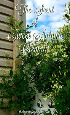 Sweet Autumn Clematis blooming now is such a sweet scent in the garden. Easy to grow and propagate. Clematis Trellis, Vine Trellis, What Is Vine, Organic Gardening, Gardening Tips, Vegetative Reproduction, Sweet Autumn Clematis, Garden Pictures, Flowering Vines