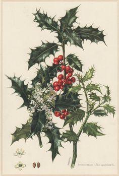 1960 Vintage Botanical Print Ilex aquifolium by Craftissimo