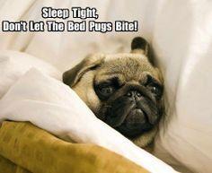 Super cute, bed pugs are adorable!  @Peyton Vincent Vincent Hahn