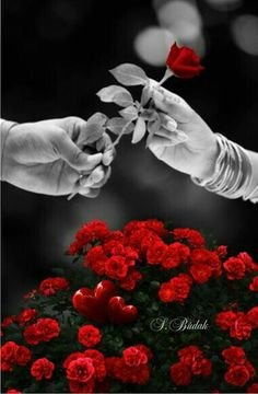 Resultado de imagen para s budak Splash Photography, Color Photography, Hearts And Roses, Red Roses, Mosaic Flowers, Love Images, Shades Of Red, Beautiful Roses, Color Splash