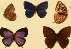"""Image from page 356 of """"Rhopalocera exotica ; being illustraions of new, rare, and unfigured species of butterflies"""" (1887) 