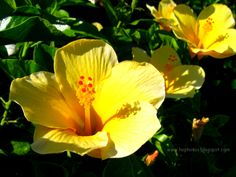 The yellow hibiscus. Hawaii's state flower.