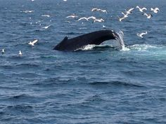whale watching #cape code