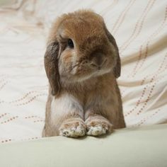 If you are searching for a family pet that is not just cute, but very easy to have, then look no further than a pet bunny. Cute Baby Bunnies, Funny Bunnies, Lop Bunnies, Bunny Bunny, Animals And Pets, Funny Animals, Mini Lop, Cute Little Animals, Tier Fotos