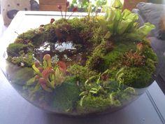 plants terrarium - Another! Mini Terrarium, Garden Terrarium, Water Terrarium, Bog Plants, Garden Plants, Indoor Water Garden, Indoor Plants, Bog Garden, Savage Garden