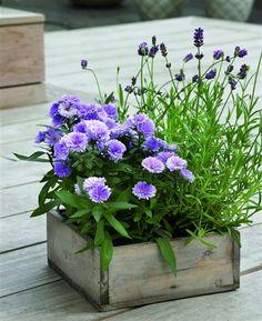 Kanske börjar sommarens blommor se lite lätt luggslitna ut nu på sensommaren. Än finns det tid att njuta av utelivet och många växter tål att stå ute ännu en tid, som här lavendel och aster. Bild från www.floradania.dk.