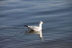 This is a seagull. #seagull