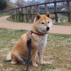 Pinを追加しました!/今日もお疲れ様でした。それでは、おやすみなさい #shibastagram #shiba #dog #komugi #柴犬 #shibainu