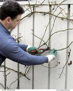Pruning Climbing Roses: roses at the top of the cane give off a pheromone so no flowers will bloom below. Train laterally.