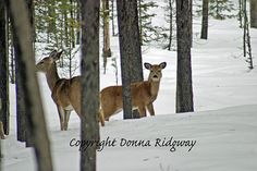 Wildlife photo animal photo deer in snow by NaturePhotosMontana, $9.99 Personal use and limited commercial use license.