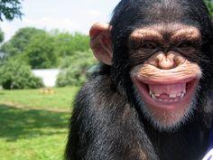 Hehehehe cheeky chimp