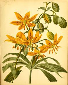 Lilium hansonii - circa 1880