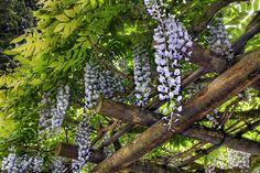 Tutte le dimensioni |Wisteria Blooming on Pergola at Portland Japanese Garden 3 - HDR | Flickr – Condivisione di foto!