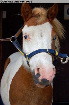 V.K. Honey - Shetland Pony mare