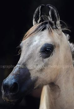 Kathiyawadi Horse, Horses, Photo Credit, Westerns, India, Animals, Black And White, Goa India, Animales