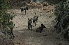 Pack of wild dogs @ #Selous Game Reserve in #Tanzania. Check out the user reviews of Selous GR. Photo by Code Redsniper, booking Southern circuit safaris, selous tours though KILIMANJARO TANZANITE SAFARIS Co.Ltd