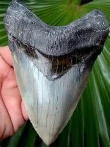 Hunting for Megalodon teeth in DeSoto florida, You go out for the day and pan in rivers and snorkel to find fossilized teeth, I want to do this so bad!!!! http://megalodonexpeditions.com/megmain2.htm