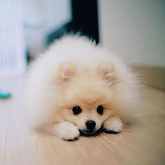 I'm a pile of fur! #pomeranian