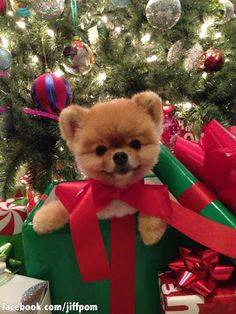 The best present ever jiff Pom Boo The Cutest Dog, World Cutest Dog, Cutest Dog Ever, Cute Baby Animals, Animals And Pets, Funny Animals, Christmas Animals, Christmas Dog, Merry Christmas