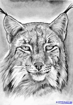 how to draw a realistic lynx step 21