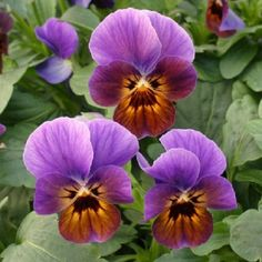 50 Viola Seeds Viola Angel Blueberry Glow by nurseryseeds on Etsy