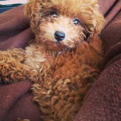 Tiny toy red poodle