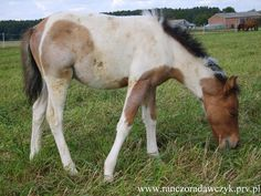 Felin Pony colt Rubel