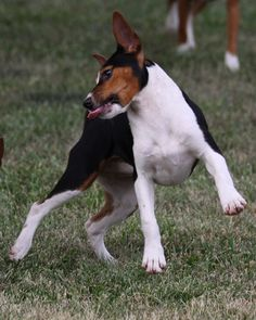 Maddie Mae isnt she the cutest Rat Terrier you have ever seen?