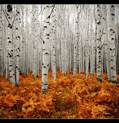 Birch Trees~~~Lovely Picture~~~