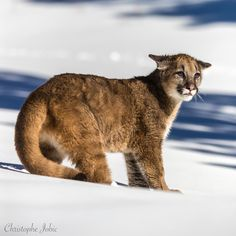 Mountain lion cub (puma concolor)