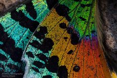 Butterfly wings, detail. The body of this butterfly had been consumed by ants leaving only the wings..A trip up the Manambolo River to the j...