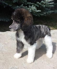 tuxedo poodle Oshawa Ontario Canada