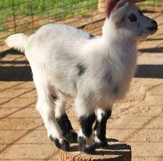 good_baby_goat_by_animalvr-d3dxo3l.jpg (900×887)