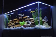 aquario ciclideos - Pesquisa Google