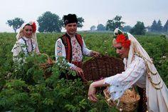 Bulgaria, roses fields