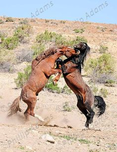 The Battle 3  Mustang Stallions  85 x 11 by NevadaWilds on Etsy,  #NevadaWilds #wildhorses
