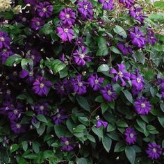 Clematis viticella 'Etoile Violette' - Hardy Vines - Vines - Avant Gardens Nursery & Design