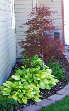 Japanese Maple and Hostas...love both.