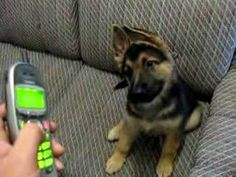 GSD Herbie Enjoys Ringtones - http://www.ruffingtonpost.com/gsd-herbie-enjoys-ringtones/