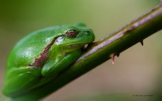 the tree frog is back ! by Erik Gordebeke on 500px