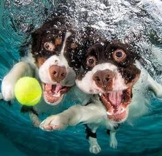Springer Spaniels - Underwater Dogs