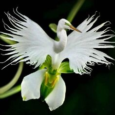 100 Japanese Radiata Seeds White Egret Orchid Seeds World's Rare Orchid Species White Flowers Orchidee Semillas De Flores Raras Strange Flowers, Unusual Flowers, Unusual Plants, Rare Plants, Rare Flowers, Amazing Flowers, Potted Plants, Balcony Plants, Best Flowers