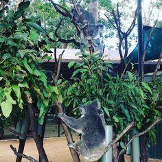 #旅行ふりかえり #楽しかった #あっという間 #australia #goldcoast #currumbinwildlifesanctuary #zoo #koala #animals #sunny #晴れ女の力 #trip #travel #guide #tour #fabulous #awesome #loveit #missyou #thanks #myfriend #lovely #enjoy #enjoylife #takeiteasy by 333io http://ift.tt/1X9mXhV
