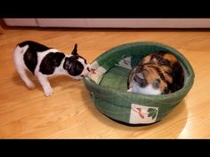Watch This French Bulldog Puppy Try To Get A Cat Out Of His Bed And Fail Adorably