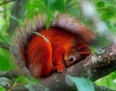 Rare British Red Squirrel