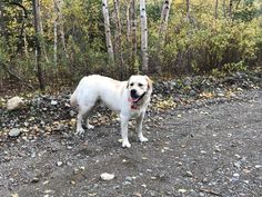 Labrador Retriever, Yellow, Dogs, Animals, Beautiful, Labrador Retrievers, Animais, Animales, Animaux